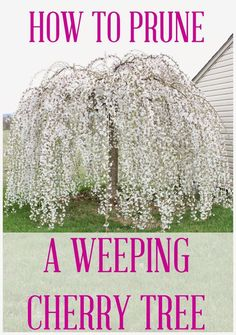 weeping cherry tree planting instructions