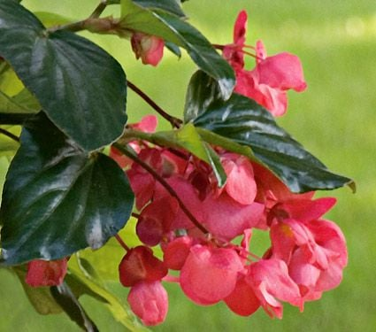angel wing begonia care instructions