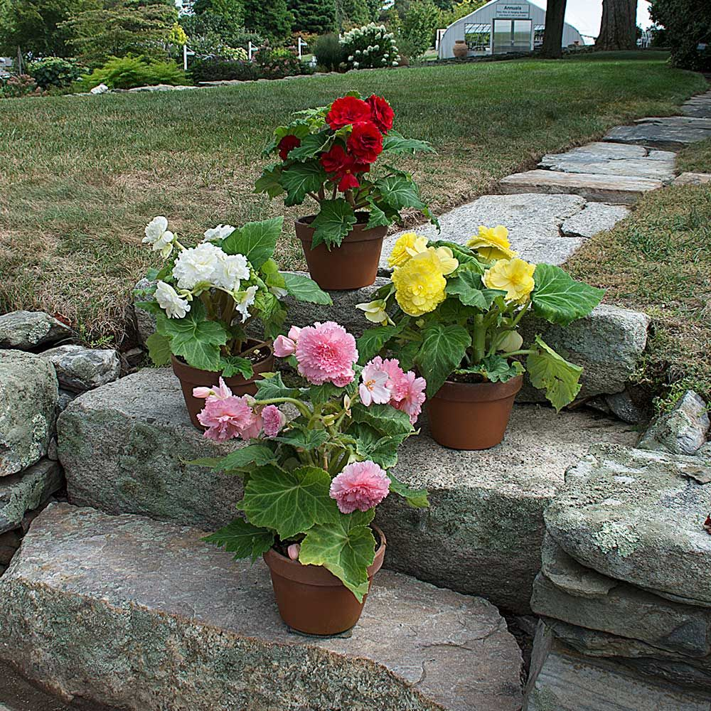 begonia plant care instructions