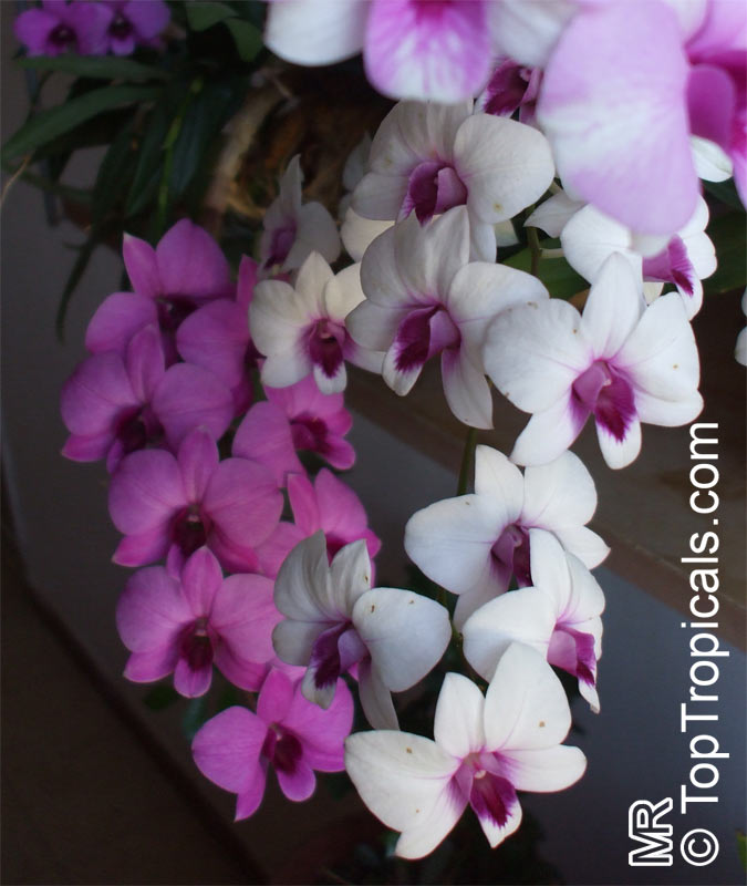 dendrobium orchid care instructions