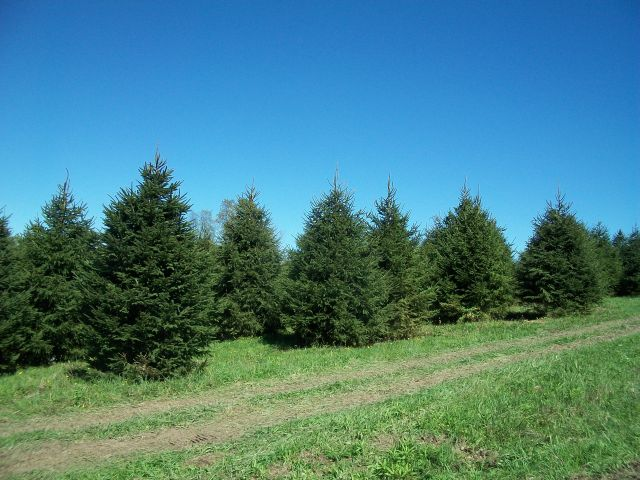 blue spruce planting instructions