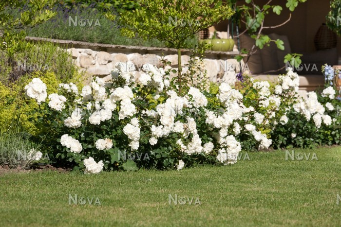 iceberg rose planting instructions