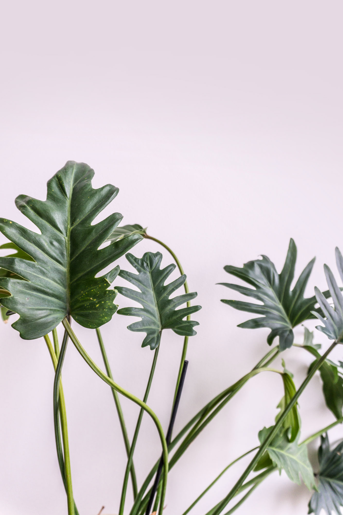 philodendron xanadu care instructions